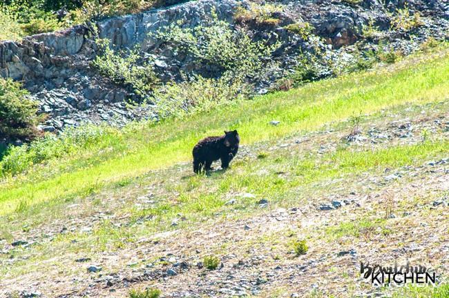 Black Bear eating on Blackcomb Mountain in Whistler, BC.